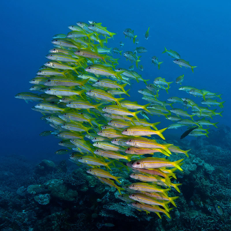 Large polarized school of Yellowfin Goatfish (Mulloidichthys vanicolensis) sweeps by the reef.