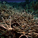 A thicket of healthy Acropora cervicornis (staghorn coral) coral blankets a reef within the new marine protected area on Jamaica\'s Pedro Bank.