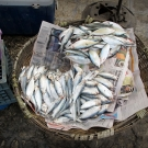 A basket of herring (clupeidae) for sale at a local fish market on Jamaica's southern shore.
