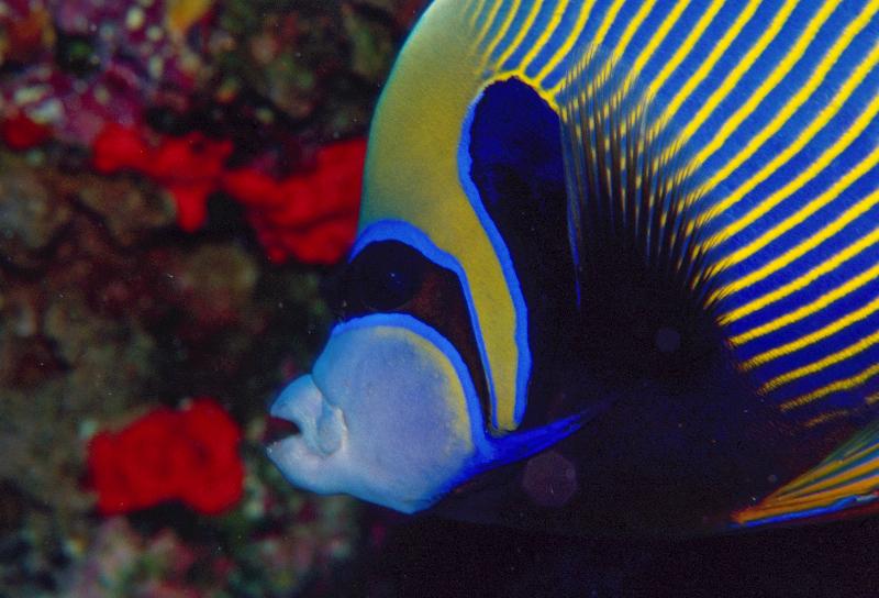 sey-emp-angelfish