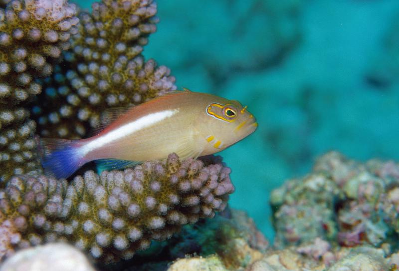 sey-hawkfish1