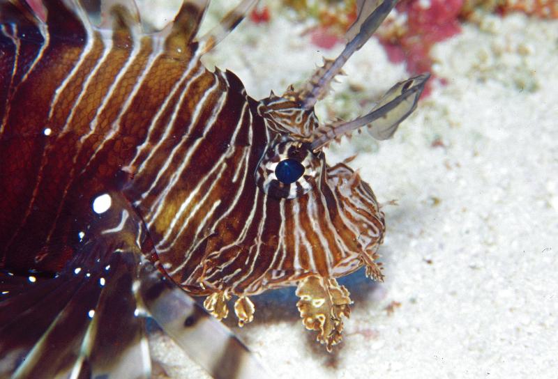 sey-lionfish