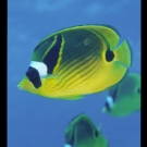 racoon-butterflyfish-day-7