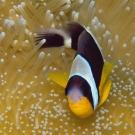 sey-anenomefish