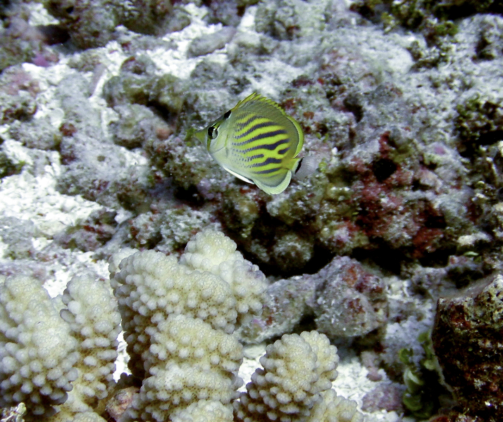 small-butterflyfish