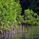 Mangroves of the Solomon Islands