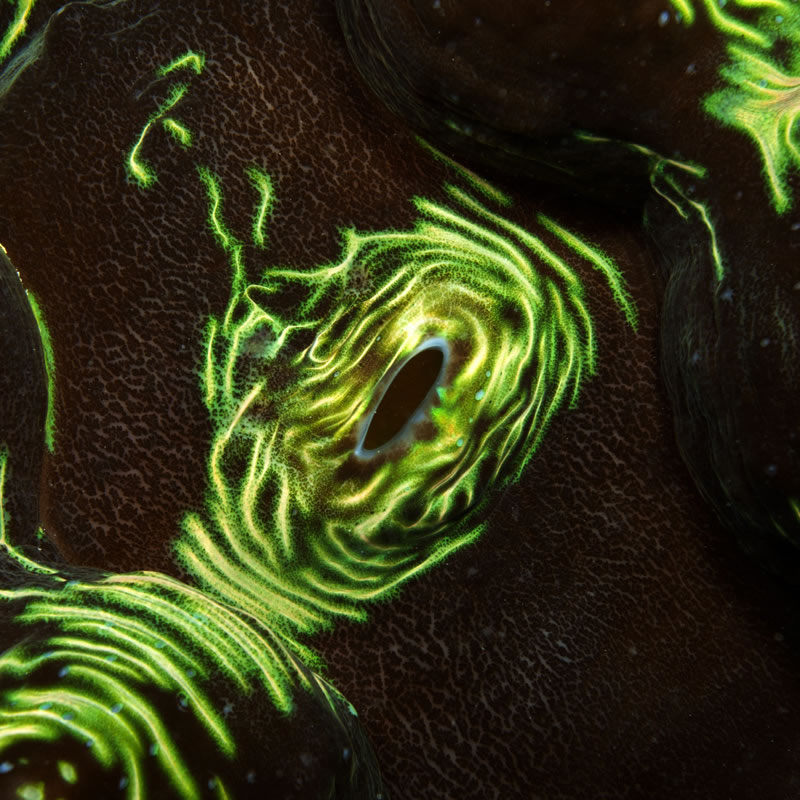 A beautiful close-up view of the mantle (tissue) of a giant clam.