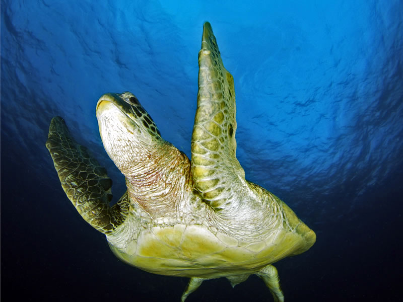 Green sea turtle (Chelonia mydas).