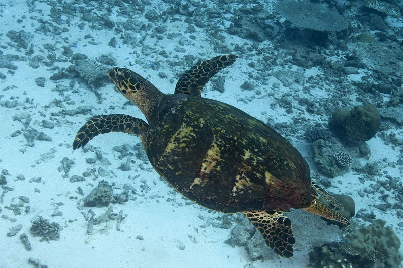 On one of our dives, a hawksbill sea turtle (Eretmochelys imbricata) swam by us today.