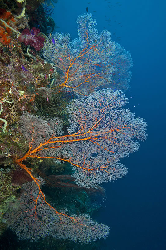 Large gorgonian sea fan.