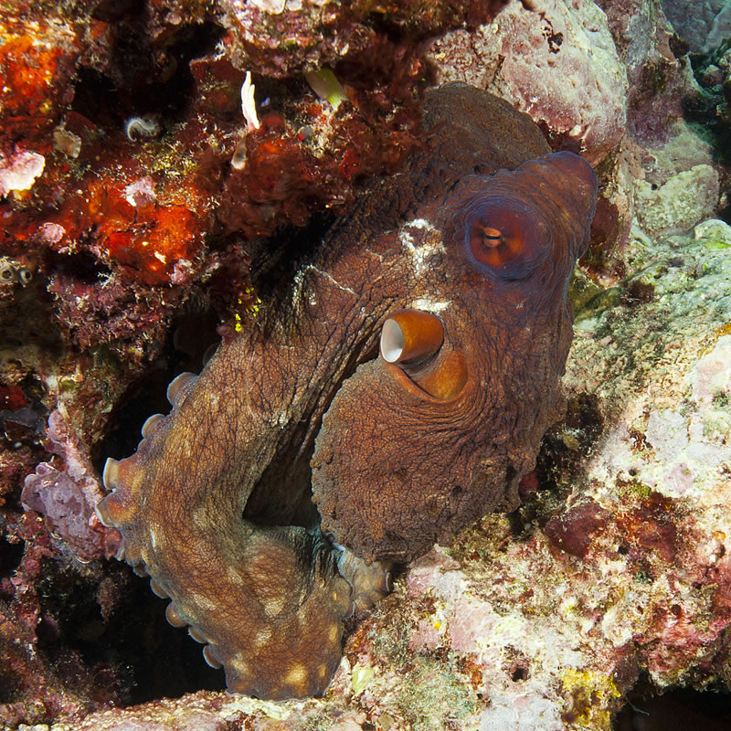 This day octopus (Octopus cyanea) was trying to camouflage itself near a rock.