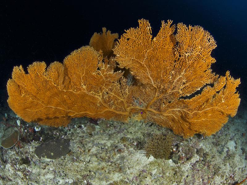 Orange gorgonian.