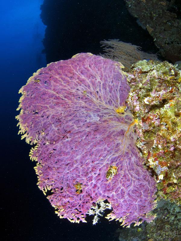 purpleaPurple gorgonian.gorgonian