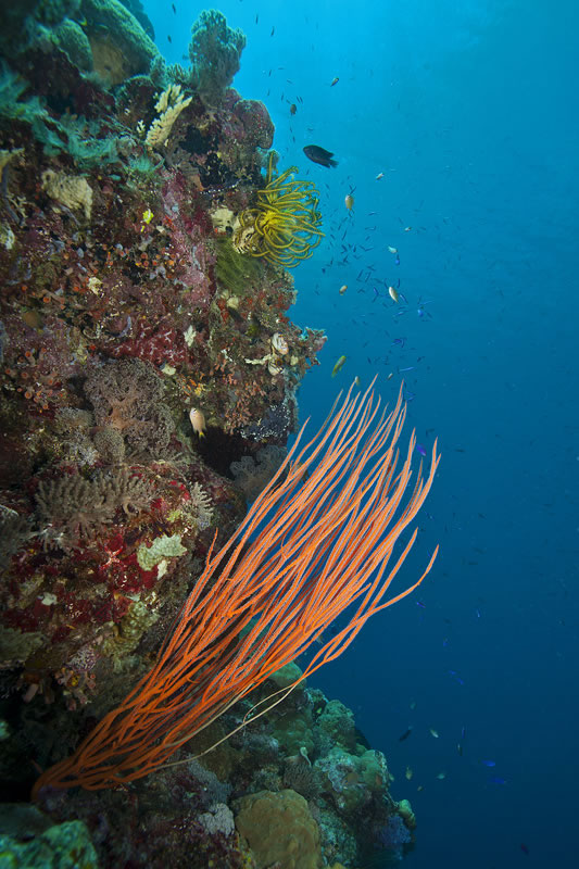 Sea whips (red) are a type of soft coral.