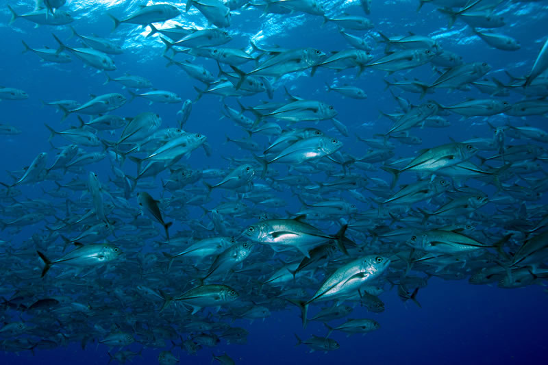 School of bigeye trevally (Caranx sexfasciatus).