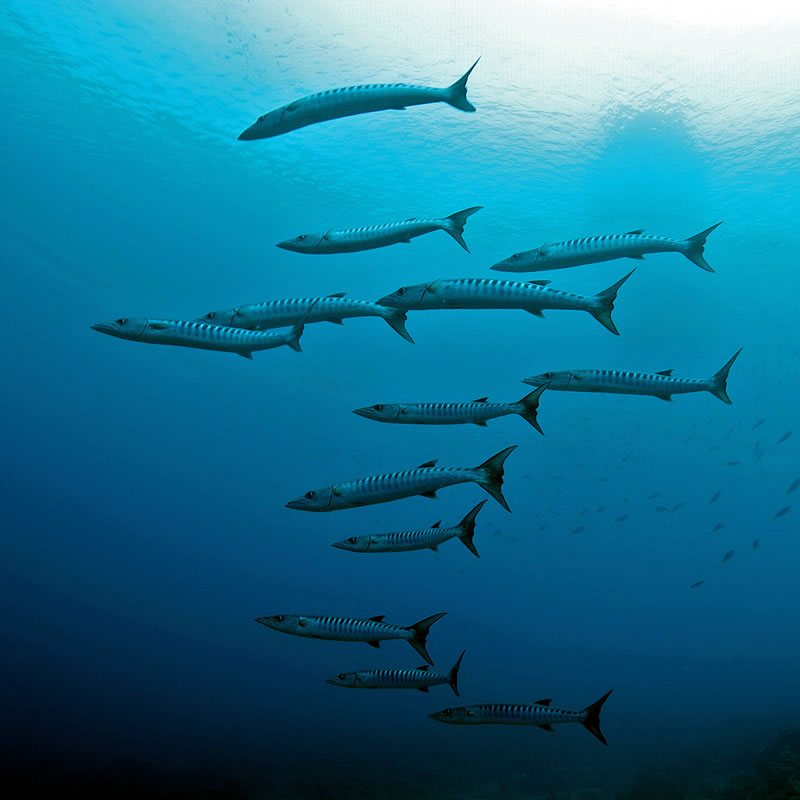 A school of blackfin barracuda (Sphyraena qenie).