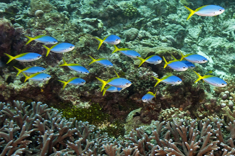 School of blue and yellow fusiliers (Caesio teres).
