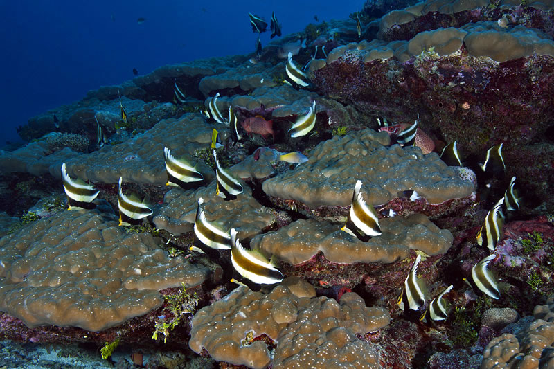 School of pennant bannerfish (Heniochus chrysostomus).