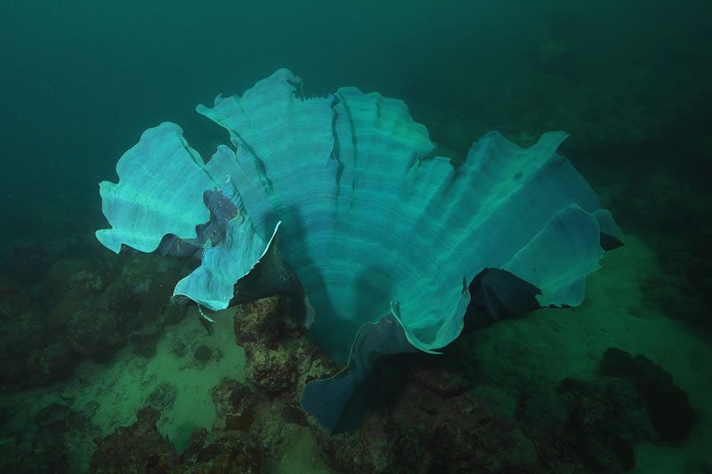 Side view of a lue elephant ear sponge.