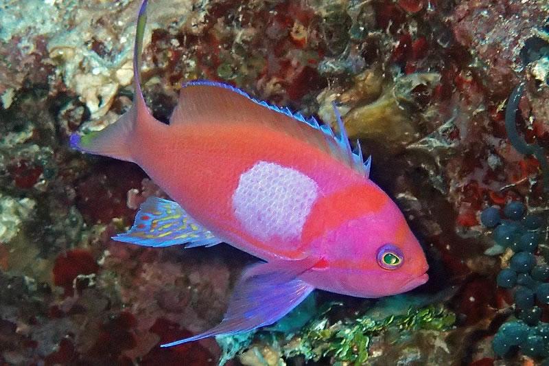 Squarespot Anthias (Pseudanthias pleurotaenia).