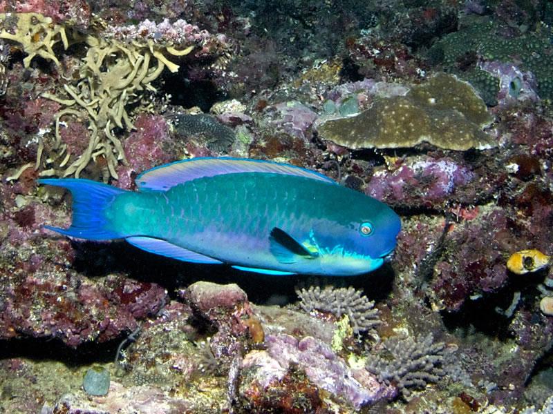 Steephead parrotfish (Chlorurus microrhinos).