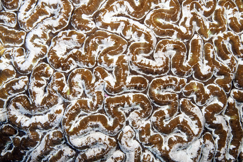 Close-up view of Symphyllia coral.