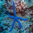 Here is one animal that we often find on our dives called the blue sea star (Linckia laevigata).