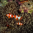 We Nemo AKA the clown anemonefish (Amphiprion percula).