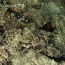 A crocodile flathead (Cymbacephalus beauforti) blending in with its background.