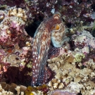 Day octopus (Octopus cyanea) crawling around the reef.