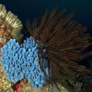 Feather star resting on top of a blue sponge.