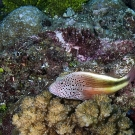 Freckled hawkfish (Paracirrhites forsteri) perched on coral.