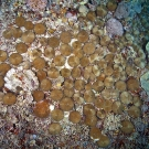 Each one of these corals is an individual coral polyp known as fungid coral.