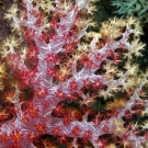 Close-up photo of a soft coral colony.