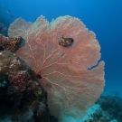 Gorgonian sea fan with winged oyster.