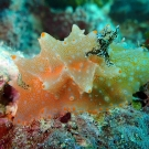 This 'Halgerda batangas' nudibranch (sea slug) almost looks more like a sponge than a sea slug.