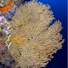 Large orange gorgonian.
