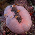 Family of pink anemonefish (Amphiprion perideraion) living in anemone.