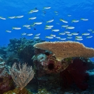 School of blue and yellow fusiliers (Caesio teres) swimming over the top of a plating coral.