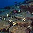School of pennant bannerfish (Heniochus chrysostomus).