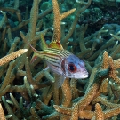 Spotfin squirrelfish (Neoniphon sammara) hanging out in staghorn coral.