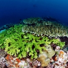 Here is a photo of two different 'Acropora' species.