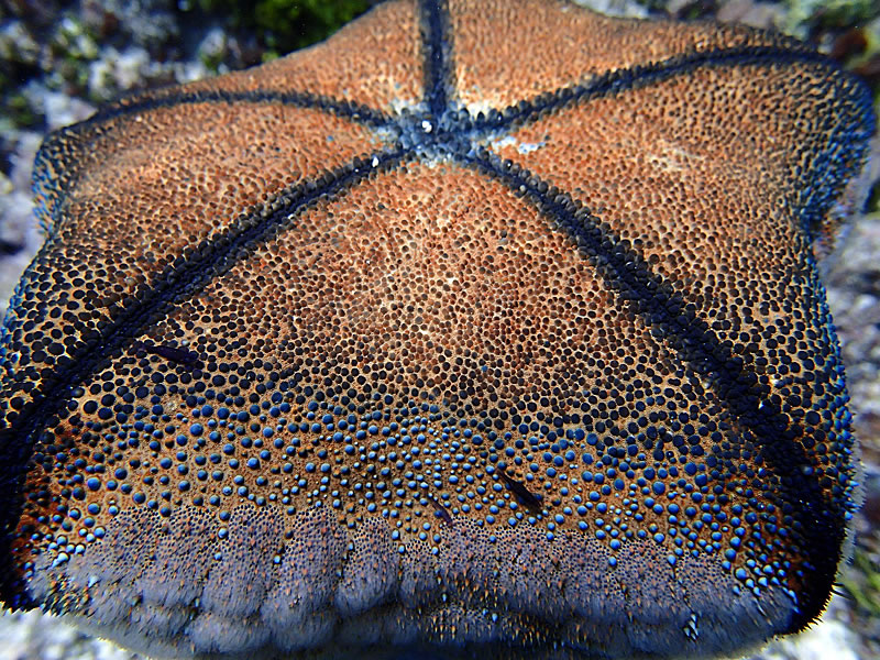 This is the underside of a cushion star (Culcita novaeguineae).