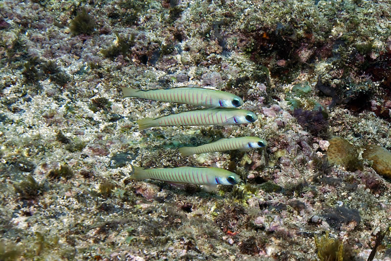 Zebra dartfish (Ptereleotris zebra) aggregating on bottom.