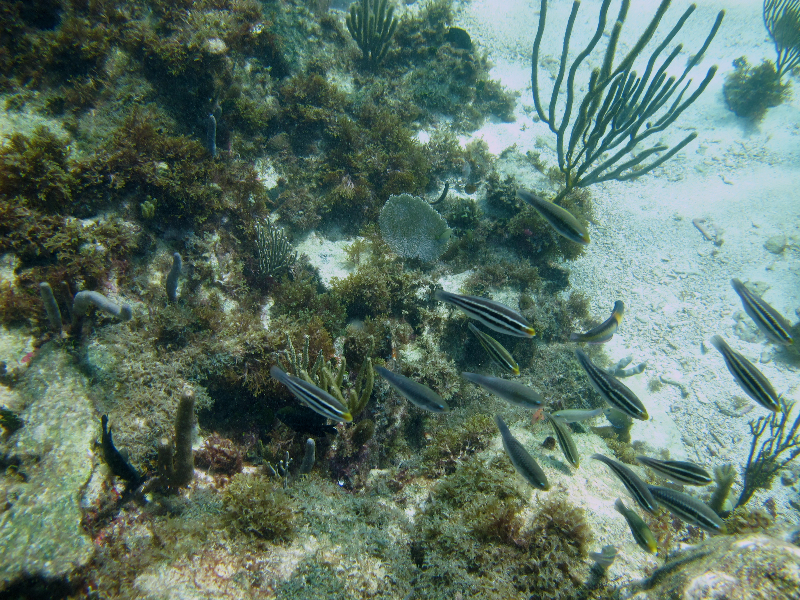Juvenile and Initial Phase stripped parrotfish.