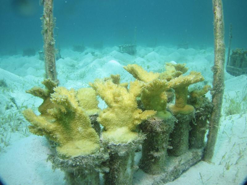 Elkhorn coral in a nursery.