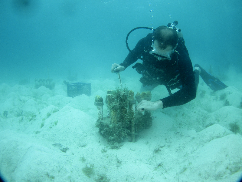 Scientific diver tending elkhorn coral in a nursery.