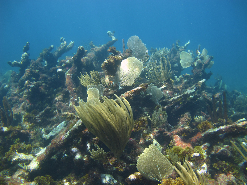 Dead elkhorn coral skeletons with soft corals growing.