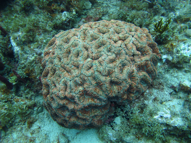 Spiny Flower Coral