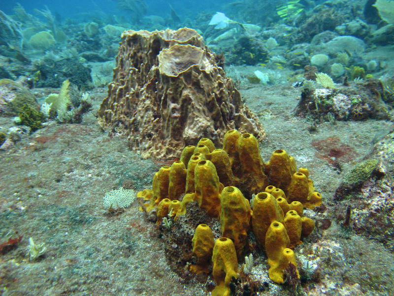 Yellow tube sponge with giant barrel sponge and juvenile bluehead.